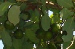 abacate.JPG