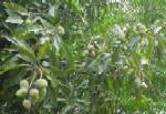 mangatree.JPG